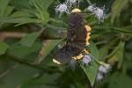 Noctuidae - Agaristinae - Ophtalmis lincea - 60 mm - Real - 5.4.2018