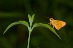 Hesperiidae - Hesperiinae - Oriens californica - Scudder 1872 - 20 mm - Romblon - 14.4.2018