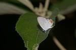 Lycaneidae - Lycaeninae - Polyommatini - Everes lacturnus lacturnus - Godart 1824 - 20 mm - Romblon - 14.4.2018