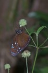 Nymphalidae - Danainae - Euploeini - Euploea sp - 70 à 80 mm - Romblon - 15.4.2018