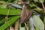Erebidae - Erebinae - Phyllodini - Phyllodes verhuelli - 180 mm - Magdiwag - 17.4.2018