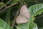 Nymphalidae - Nymphalinae - Nymphaliini - Junonia atlites atlites - Linnaeus 1758 - 50 mm - Magdiwag - 17.4.2018