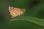 Hesperiidae - Hesperiinae - Taractrocera luzonensis luzonensis - Staudinger 1889 - 17 mm - Sanctuary Garden - 18.4.2018