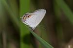 Lycaneidae - Lycaeninae - Polyommatini - Chilades pandava vapanda - Semper 889 - 23 mm - Sanctuary Garden Magdiwag - 18.4.2018