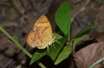 Callidulidae - Callidulinae - Callidula sumatrensis