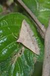 Erebidae - Erebinae - Gesomia sp - 20 mm - Sanctuary Garden - Magdiwag - 23.4.2018