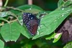 Nymphalidae - Danainae - Euploeini - Euploea mulciber - Cramer 1777 - 80 mm - Cajidiocan - 25-4-2018