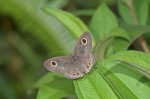 Nymphalidae - Satyrinae - Yphtima tempera tempera - C & R Felder 1863 - 27 mm - Cajidiocan - 26.4.2018