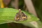 Hesperiidae - Hesperiinae - Pothantus sp - 20 mm - Cajidiocan - 26.4.2018