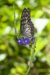 Nymphalidae - Danainae - Danaini - Ideopsis juventa manillana - Moore 1883 - 60 mm - Cajidiocan - 26.4.2018