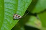 Adelidae - Adelinae - Nemophora sp - 8 mm - Cajidiocan