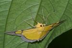 Geometridae - Desmobathrinae - Celerena sp - 55 mm - Alahag - Sibuyan - 28.4.2018
