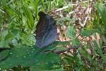 Nymphalidae - Nymphalinae  - Limetidini - Dophla evelina chloe - Schroeder & Treadaway 1990 - 150 mm - Alahag - Sibuyan - 29.4.2018