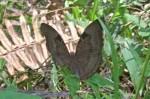 Nymphalidae - Nymphalinae - Limenitidini - Dophla evelina - Schroeder & Treadaway 1990 - 150 mm - Alahag - Sibuyan - 29.4.2018