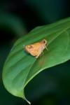 Hesperiidae - Hesperiinae - Taractrocera luzonensis luzonensis - Staudinger 1889 - 20 mm - Alahag - Sibuyan - 30.4.2018