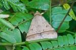 Erebidae - Arctiinnae - Hermininae - Simplicia sp  - 25 à 30 mm - Alahag - Sibuyan - 4.5.2018