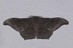 Geometridae - Ennominae - Boarmiini - Hyposidra sp - 45 mm - Magdiwag - 6.5.2018