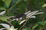 Papilionidae - Papilioninae - Papilionini - Menelaides - Leiphobus rumazovia (Eschscholtz 1821) - 100 mm - Sanctuary Garden - 8.5.2018
