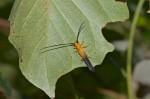 Cerambycidae - Oberea sp - 20 mm - Talipanan - 17.3.2018