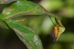 Cerambycidae - Oberea sp - Talipanan - 17.3.2018