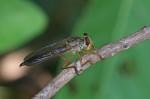 Asilidae - Omnatius sp - 25 mm - Magdiwag - 19.4.2018