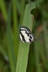 Lycaneidae - Lycaeninae - Polyommattini - Caleta roxus augustior (Staudinger,1889) - 30 mm - Talipanan - 17.3.2018