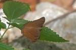 Nymphalidae - Nymphalinae - Nymphalini - Judonia hedonia ida (Cramer,1775) 50 mm - Talipanan - 20.3.2018