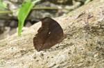 Nymphalidae - Nymohalinae - Nymphalini - Judonia hedonia ida -  (Cramer,1775) - 50 mm - Talipanan - 20.3.2018