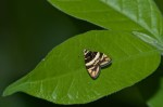 Choreutidae - Choreutinae - Choreutis sp - 8 mm - Talipanan - 20.3.2018