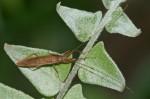 Lygaeidae - Pachygrontha bipunctuata - ( Stäl, 1865 ) - 11 mm - Real - 4.4.2018
