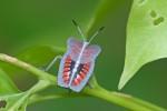 Tessaratomidae - Tessaratoma papillosa - 15 mm - Sibuyan - 1.5.2018