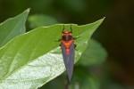 Cicadidae -Cicadoidea - Huechys sanguinea - 22 mm - Magdiwag - 8.5.2018