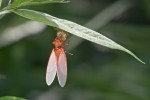 Cicadidae - Cicadoidea - Huechys sanguine ( De Geer, 1773 ) - 20 mm - Magdiwag - 9.5.2018