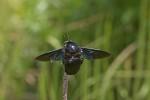 Apidae - Xylocopa sp - 25 mm - Cajidiocan - 27.4.2018