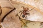 Formicidae - Polyrhachis biharmata - 11 à 12 mm - Sibuyan - 15.3.2019