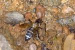 Apidae - Apinae - Apini - Apis dorsata breviligula - Femelle - (Fabricius, 1793) - 14 mm - Sibuyan