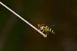 Syrphidae - 9 mm - Sibuyan - 16.3.2019