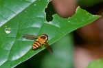 Syrphidae - Asarkina sp - Mâle - 12 mm - Quezon National Park - 27.3.2019