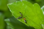 Miridae - Helopeltissp - 7 à 9 mm - Real - 3.4.2019