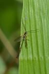 Ichneumonidae - Anomaloninae - 15 mm - Hungduan - 17.4.2019