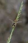 Syrphidae - Ischiodon aegyptus - 9 mm - Hungduan - 18.4.2019