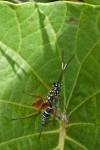 Ichneumonidae - Femelle - 17 à 18 mm - Palanan - 29.4.2019