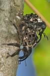 Curculionidae - 13 à 15 mm - Palanan - 29.4.2019