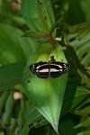 Nymphalidae - Nymphalinae - Athyma ? - 40 mm - Palanan - 29.4.2019