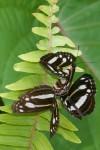 Nymphalidae - Nymphalinae -  40 mm environ - Palanan - 1.5.2019