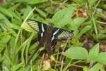 Papilionidae - Papilioninae - Lamproptera mages decius - (C et R Felder,1862) - 50 mm - Palanan - 3.5.2019