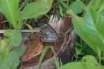 Nymphalidae - Danainae - Danaini - 80 mm - Talipanan - 14.5.2019