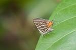 Lycaenidae - Spindasis siamo negrita - (Felder,1862) - 30 mm - Talipanan - 14.5.2019