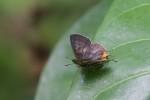 Lycaneidae - Spindasis siamo negrita - (Felder,1862) - 30 mm - Talipanan - 14.5.2019