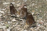 Nymphalidae - Danainae -  Euploea ? - 80 mm environ - Talipanan - 17.5.2019